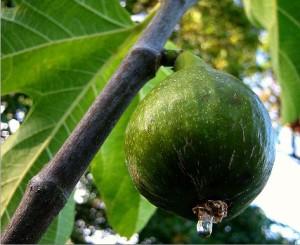 A very ripe fig